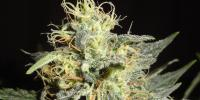 Green Label - Automatic Mary cannabis seeds