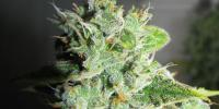 Green Label - Frosty Kush cannabis seeds