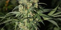 Green Label - Killer White cannabis seeds