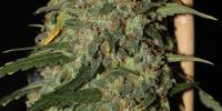 Green Label - Easy Skunk cannabis seeds