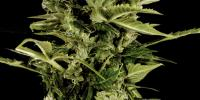 Green House Seeds - Bomb Auto cannabis seeds