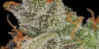 Green House Seeds - Kings Kush cannabis seeds