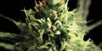 Green House Seeds - Lemon Skunk cannabis seeds