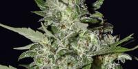 Green House Seeds - Super Critical Auto cannabis seeds