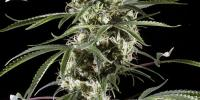 Green House Seeds - Super Lemon Haze cannabis seeds