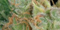 Green House Seeds - The Church cannabis seeds