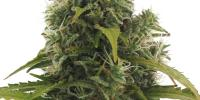 Heavyweight Seeds - High Density Auto cannabis seeds