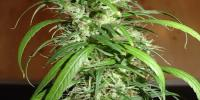 Homegrown Fantaseeds - SPR Haze cannabis seeds