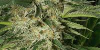 Humboldt Seed Organisation - Lemon Garlic OG cannabis seeds