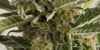 Humboldt Seed Organisation - Lost Coast Skunk Auto cannabis seeds