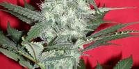 Jordan of the Islands - Gods Gouda cannabis seeds