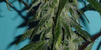 Jordan of the Islands - Gods OG Kush cannabis seeds