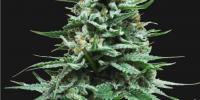 Kalashnikov Seeds - Northern Russian Auto cannabis seeds