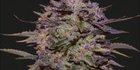 Kalashnikov Seeds - Purple Russian Express cannabis seeds