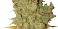 Kannabia Seeds - Big Bull cannabis seeds