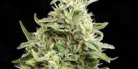 Kera Seeds - Amnesia Auto cannabis seeds