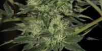 Kera Seeds - Crazy Bud Auto cannabis seeds