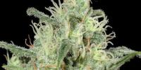 Kera Seeds - Critical Auto cannabis seeds
