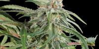 Kera Seeds - White Thunder cannabis seeds