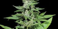 Kera Seeds - White Widow cannabis seeds
