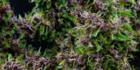 Mandala Seeds - Purple Paro Valley cannabis seeds