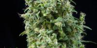 Mandala Seeds - White Bhutanese cannabis seeds