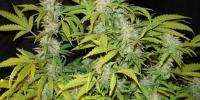 Medical Seeds - Prozac cannabis seeds