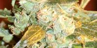 Medicann - Kush Fromage cannabis seeds