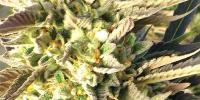Medicann - Trainwreck cannabis seeds