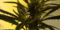 Mr Nice Seeds - Afghan Skunk cannabis seeds