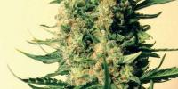 Mr Nice Seeds - Critical Skunk cannabis seeds