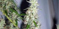 Mr Nice Seeds - Mango Haze cannabis seeds
