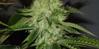Mr Nice Seeds - Medicine Man cannabis seeds