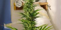 Mr Nice Seeds - Spice cannabis seeds