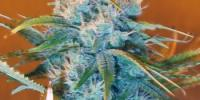 Nirvana Seeds - AK48 cannabis seeds