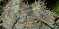 OO Seeds - Auto Afghan Mass cannabis seeds