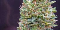 OO Seeds - Auto Bubblegum cannabis seeds