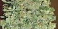OO Seeds - Auto Chocolate Skunk cannabis seeds