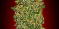 OO Seeds - Chocolate Kush cannabis seeds