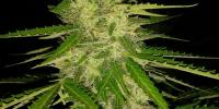 Original Sensible Seed Company - Auto JH cannabis seeds