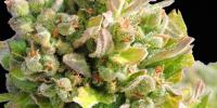 Original Sensible Seed Company - Auto Skunk cannabis seeds