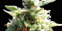 Original Sensible Seed Company - Black Gum cannabis seeds
