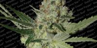 Paradise Seeds - Acid cannabis seeds