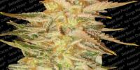 Paradise Seeds - Ice Cream cannabis seeds