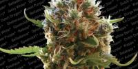 Paradise Seeds - Lucid Bolt cannabis seeds