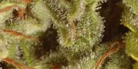 Paradise Seeds - Sativa Champions Pack cannabis seeds