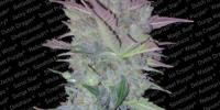 Paradise Seeds - Vertigo Automatic cannabis seeds