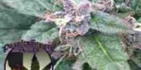 Purple Caper - Grape OG cannabis seeds