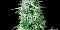Pyramid Seeds - Anubis cannabis seeds