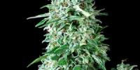 Pyramid Seeds - Anubis Auto cannabis seeds